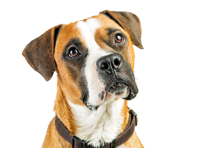 Portrait Boxer crossbreed dog serious expression over white with copy space Imagens