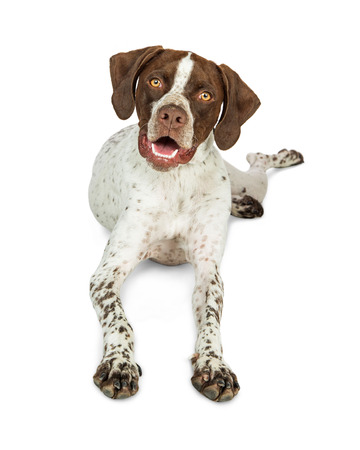 Cute Shorthaired Pointer breed dog lying down on white background looking into camera Stock Photo