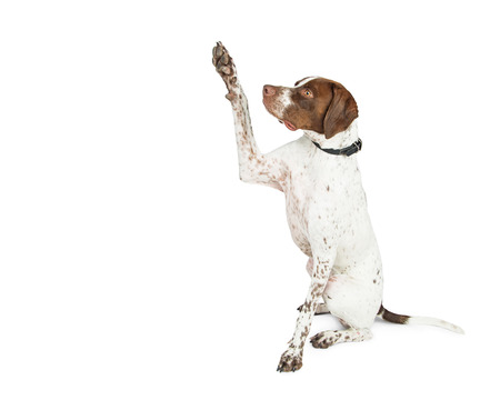 Shorthaired Pointer breed dog sitting to side on white, raising paw up to give high five or shake