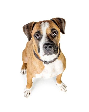 Foto di overhead di Boxer cane razza mista alzando lo sguardo Archivio Fotografico - 82675845
