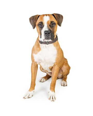Boxer mixed breed dog sitting looking forward, isolated on white Reklamní fotografie