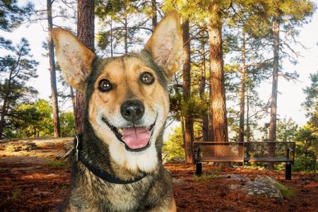 Close-upfoto van een gelukkige gemengde hond van het Herderras in een park in het hout Stockfoto