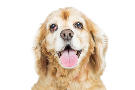Closeup photo of a senior Cocker Spaniel breed dog with a prolapsed third eyelid, called Cherry Eye