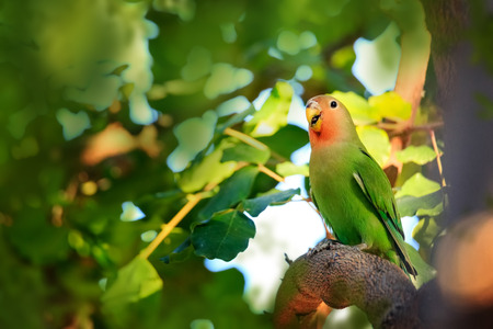 A peach-faced lovebird in a tree in Phoenix Arizona. This bird species originated in Africa and came to the US in captivity. Banco de Imagens
