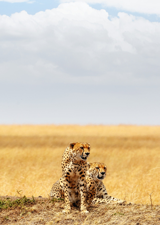 Two Cheetahs together in the Mara Triangle in Kenya Africa. Vertical orientation with copy space.