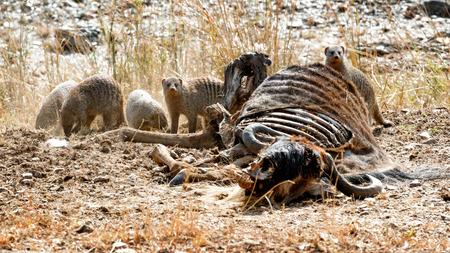 Groep gestreepte mangoest die van het karkas van dode meest wildebeest in Masai Mara in Kenia, Afrika eten