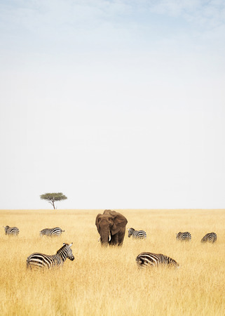 Zebra and an elephant in tall grass field in the Masai Mara in Africa with copy space in the cloudy sky Stock Photo