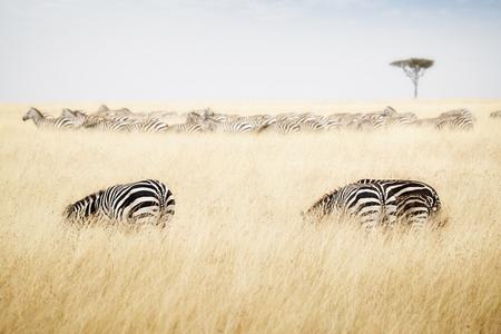 Herd of zebra grazing on tall grass in Kenya, Africa Stock Photo