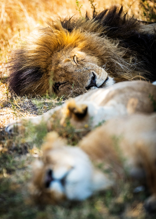 other keywords: Male lion sleeping with two lioness. Heads lined up vertically with selective focus on male lion on top.