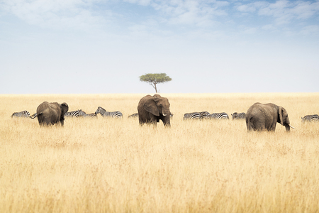 Row of elephants and zebra in the tall red oat grass of the Masai Mara triangle in Kenya, Africa
