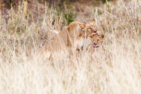 Mother lioness in Kenya Africa grooming her cub after a meal. Both with blood on faces.
