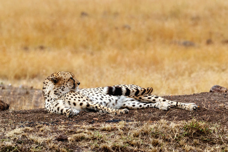 Cheetah cat lying down in Africa and lifting head up from a nap