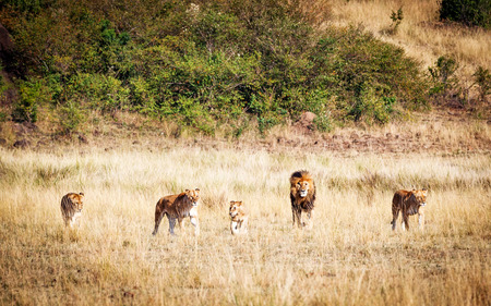 Lion pride with five members walking towards camera through the long red oat grass in Kenya Africa Stock Photo