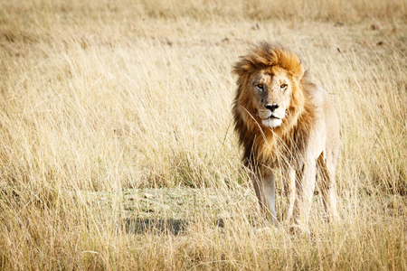 Beautiful lion standing in the tall grass of the Masai Mara in Kenya, Africa with room for text