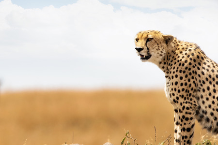 scenic spots: Closeup of side view of a Cheetah in Kenya, Africa with copy space in blurred background of a field