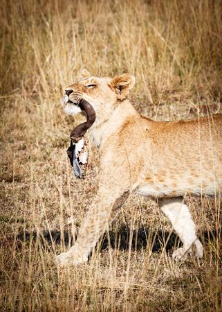 Een trotse jonge leeuw die door de weiden van Kenia Afrika loopt terwijl het dragen van de schedel van het meest wildebeest.