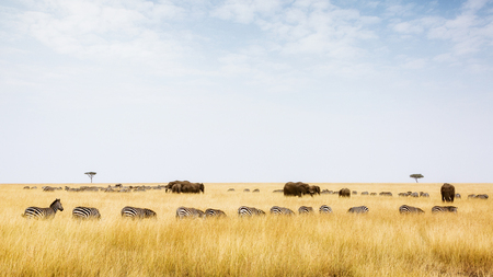 Zebra and elephants in the grasslands of Kenya, Africa with copy space in the cloudy sky