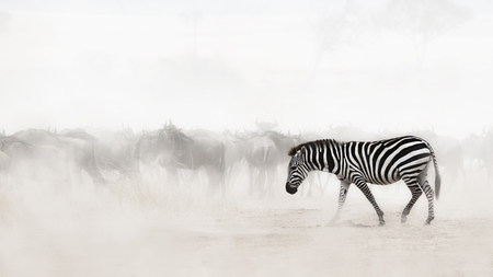 백그라운드에서 Wildebeest와 케냐, 아프리카에서 먼지를 걷는 단일 얼룩말. 안개에 복사 공간에 대 한 의도적 인 소프트 포커스
