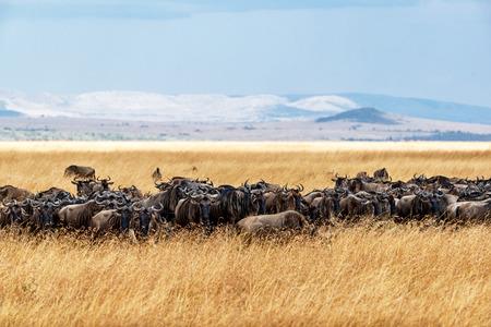Kudde van het blauwe meest wildebeest weiden in het lange rode havergras in Kenia, Afrika met bergen en hemel op achtergrond. Stockfoto