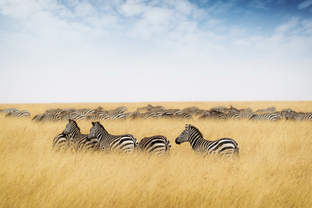 Herd of zebra in Kenya, Africa with tall red oat grass and blue sky