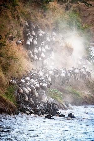 Grote groep Blauwe Wildebeest die op de bank van de Mara-Rivier in Kenia, Afrika na oversteken beklimmen om te migreren