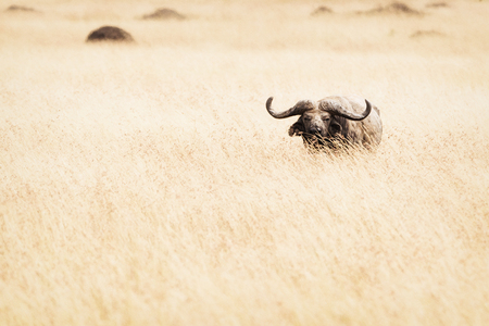 Single Cape Buffalo standing in tall red oat grass in the Masai Mara in Kenya, Africa