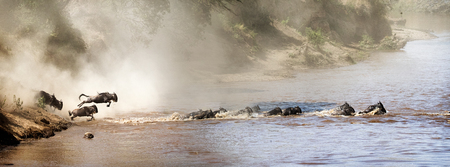 Wildebeest leaping into the Mara River in Kenya Africa during migration season. Sized for website or social media banner 스톡 콘텐츠