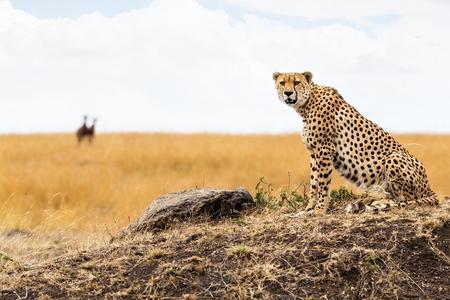 De kattenzitting van de jachtluipaard op een heuvel in Masai Mara in Kenia, Afrika. Het onderzoeken van camera met vage gazelle op achtergrond.