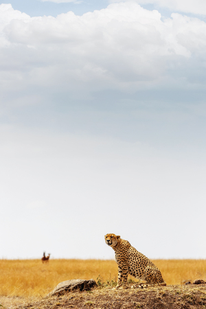 Cheetah cat sitting on a hill in the Masai Mara in Keya, Africa with gazelle blurred in the background.