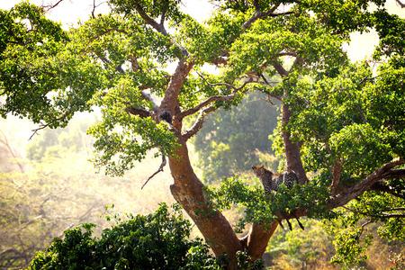 アフリカ、ケニアのマサイマラ国立保護区で動物殺すと大きな木のヒョウ