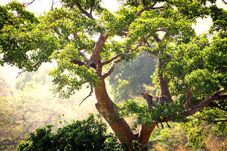 Leopard in a large tree with an animal kill in the Masai Mara in Kenya, Africa