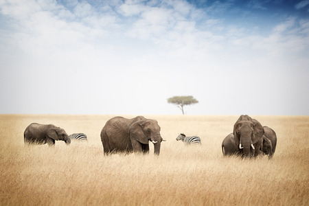 Elephants in tall grass of Kenya Africa with zebra in background Stock Photo