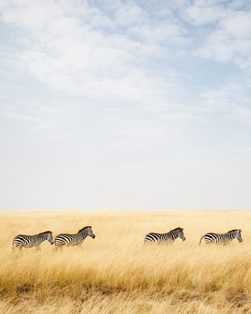 Four zebra walking through tall grass in Kenya, Africa with copy space in sky. Vertical orientation.
