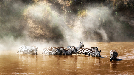 Grevys zebra drinking in the Mara river in Kenya Africa during migration season with dust rising in the background