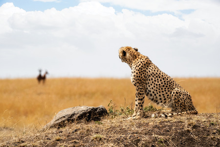 Cheetah cat in Kenya, Africa sitting on hill and looking back at gazelle in blurred background