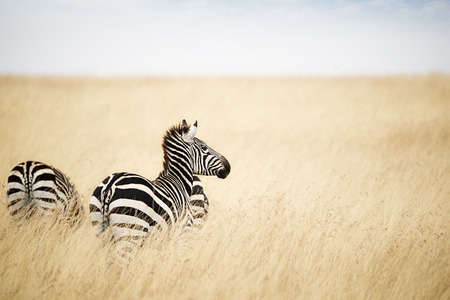 Zebra looking out over tall grass field in Kenya, Africa Stock Photo