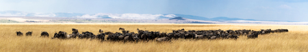 Wide panoramic photo of a large herd of wildebeest grazing in a field of red oat grass in the Masai Mara in Kenya, Africa