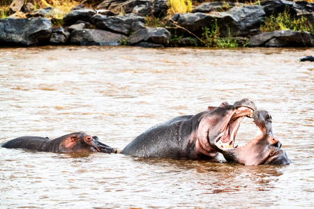 Two hippos play fighting with mouths wide open in the Mara River in Kenya, Africa Stock Photo