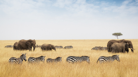 Rows of zebra and elephants in tall red oat grass in the Masai Mara in Kenya, Africa Stock Photo