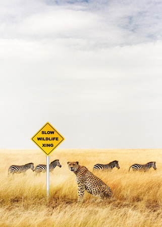 Funny photo of a Cheetah sitting and waiting at a Slow Wildlife Crossing sign with a herd of zebra pass by. Copy space in open sky.