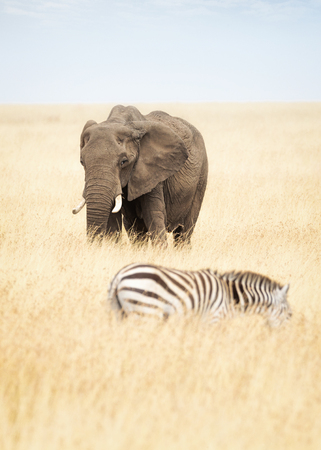 One elephant and one zebra in tall grass of Kenya, Africa
