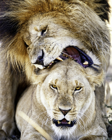 Well-known male lion named Scarface biting lioness while mating in the Masai Mara in Kenya, Africa Imagens