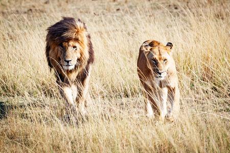 Bekende Afrikaanse wilde leeuw genaamd Scarface en een leeuwin die door de graslanden van Kenia, Afrika loopt