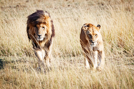 Well-known African wild lion named Scarface and a lioness walking through the grasslands of Kenya, Africa Stock Photo
