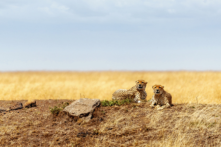 Two Cheetah cats lying down together on a hill in the Mara Triangle in Kenya, Africa