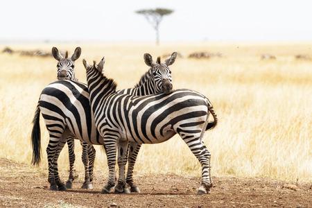 バック グラウンドでアカシアの木を持つアフリカのケニアで一緒にこもって 3 ゼブラ