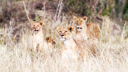 Pride of lion with cubs in tall grass of the Masai Mara in Kenya, Africa. Blood on the nose of lioness from recent kill.