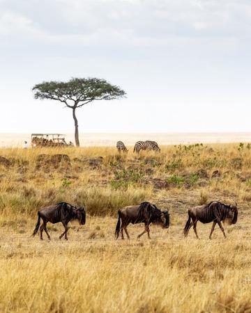 신원 미상의 사파리 차량 및 관광객을 배경으로 케냐, 아프리카에있는 Wildebeest