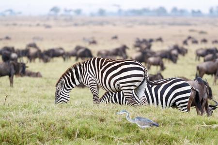 Kuddes van het gestreepte en meest wildebeest weiden op gras in Masai Mara in Kenia, Afrika Stockfoto