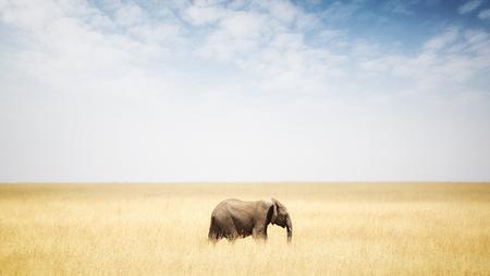 Één enkele olifant die in lang gras in Kenia Afrika met exemplaarruimte loopt in brede open hemel